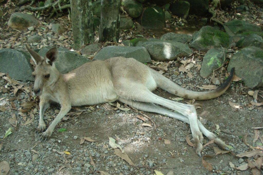 The kangaroo is an iconic Australian animal.