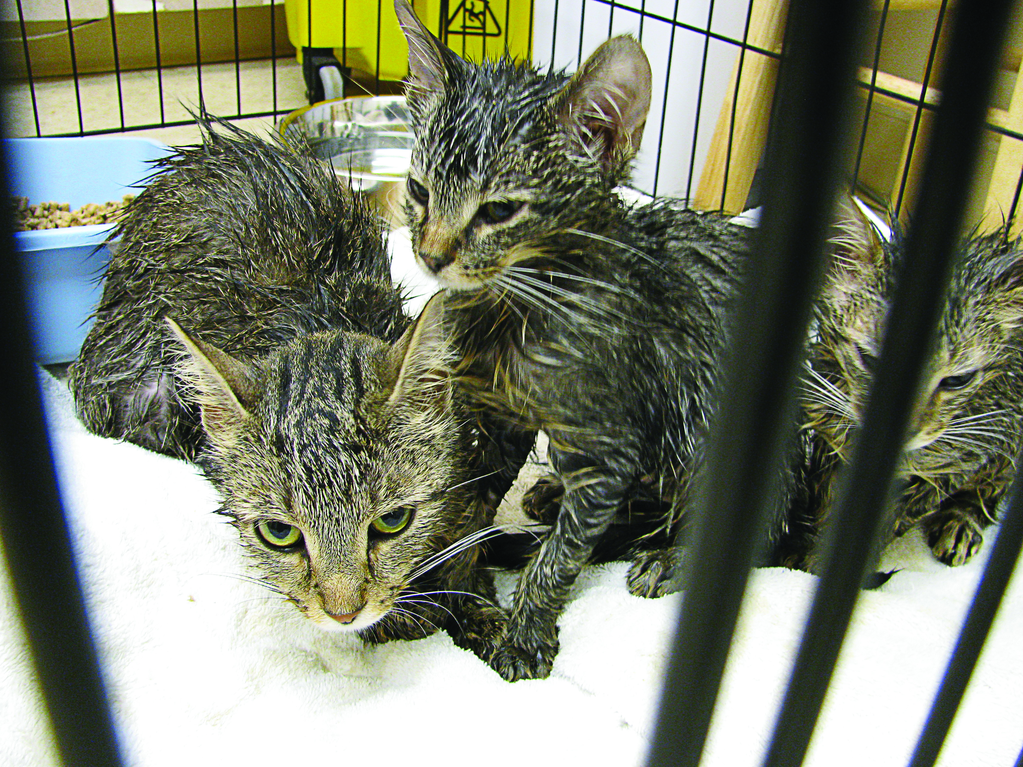 These kittens and their mother were abandoned recently outside the Humane Society for Hamilton County in Noblesville. An injured dog was also left tied to a pole near the facility. (Submitted photos)