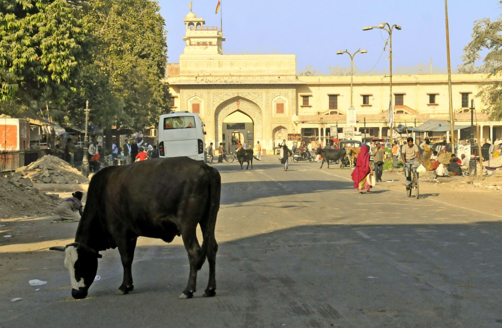 Cows in Jaipur