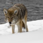 Thanks to the unrelenting winter weather, coyotes are more visible in Carmel. (Stock photo)