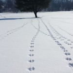Coyote pack tracks spotted on Brookshire Golf Course. (Submitted photo by Suzan Davis)
