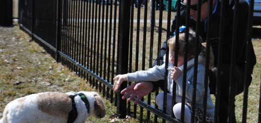 Carmel resident Nora Mildee, 4, reaches to pet a cavanese named Pablo as her father, Kyle Mildee watches March 30 at during the opening day of Carmel's first dog park which opened on the east side of Clay Terrace Mall. (Staff photo)