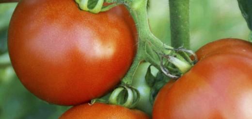 Big Red Juicy Tomatos