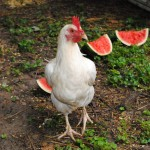 Penelope the chicken has a varied diet, including watermelon.