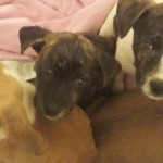 The puppies in these photos were rescued in Indianapolis and many are being treated in Hamilton Co.
