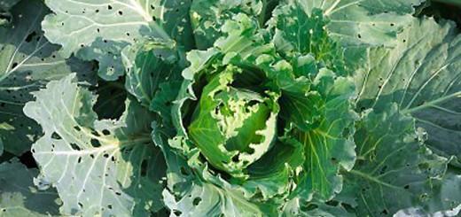 IO-Herron cabbage looper
