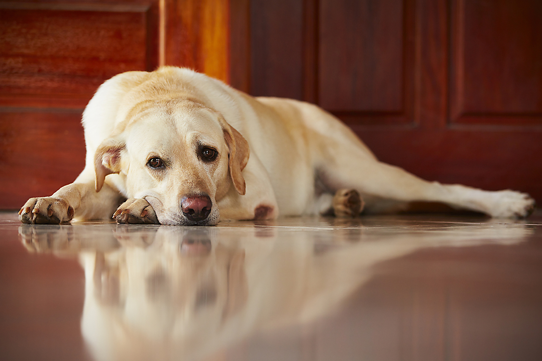 Dogs can do a lot of damage to any style of flooring, like scratches and urine stains, so flooring choices should reflect ease in cleaning and repair and the health of your family. (Submitted photo)