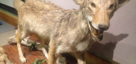 A taxidermy coyote to show what canines may be in Hamilton Co. neighborhoods. (Photo by Adam Aasen)