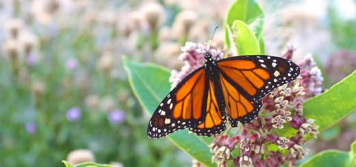 Monarch populations diminish without milkweed, the only plant in which they lay their eggs. (Photo by Sadie Hunter)
