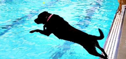 Sadie, a black lab, jumps in the pool after a tennis ball.