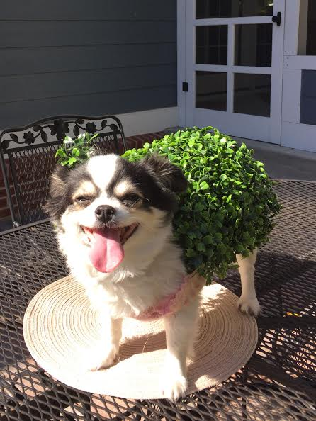 Second place: Zoe, the Cha Cha Cha Chia Pet, owned by Denise, Tim and Madison Hannon. Zoe wins a free gift basket of dog food and treats from Ballerinas and Bruisers.