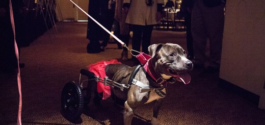 Gracie, a paraplegic put bull, went home with her new owner after the Tinsel & Tails event. (Photo by Sam Aasen)