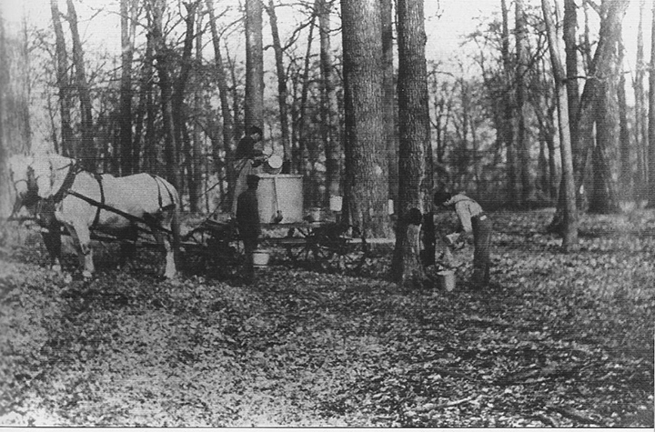 Farmers in Carmel and surrounding areas used to frequently tap maple trees for sap. (Photo courtesy of the Carmel Clay Historical Society)