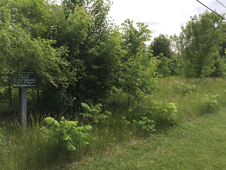 A weedy-looking area near Brookshire Golf Course is expected to look much nicer once it develops a tree canopy, which will result in less mowing and save the city money. (Submitted photo)