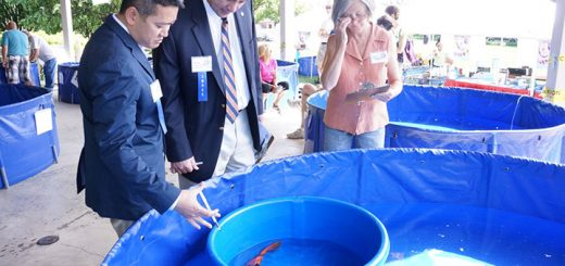 Judges look at a koi at a previous show. (Submitted photo)