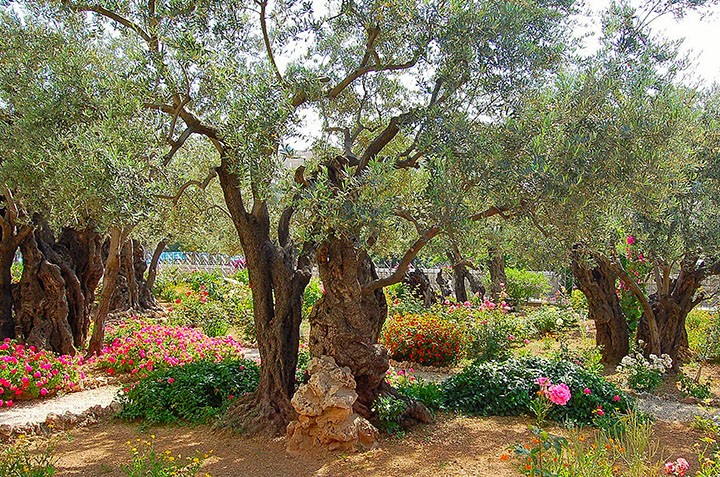 "Traditional ""Garden of Gethsemane"" on Mount of Olives (Photo by Don Knebel)"